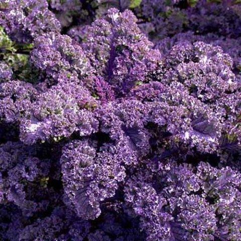 kale rizado purpura orgánico