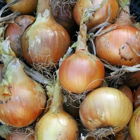 Cebolla orgánica