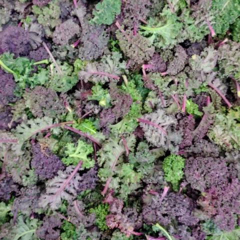 Kale rizado nuevo